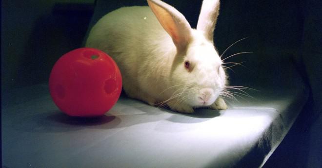 Får kaniner äta tomat