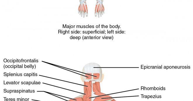Hur ska man bygga muskler snabbt?