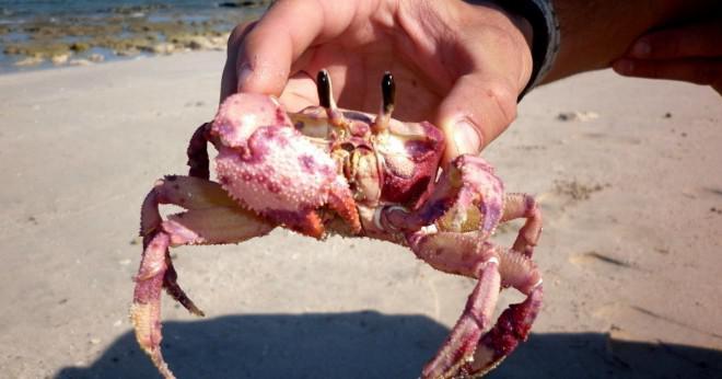 Vad äter spelman krabba som husdjur?