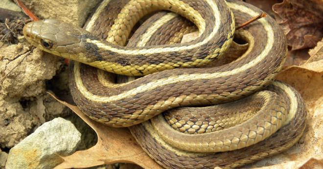 Vad äter strumpeband ormar som sällskapsdjur?