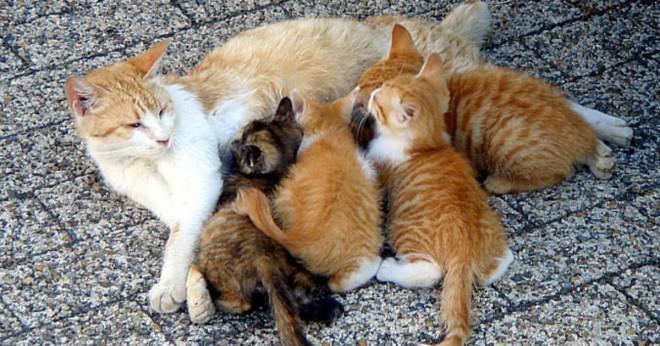 kattunge mat hur mycket