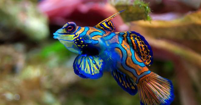 Skulle och Angelfish slåss med guppy plus Black Widow Tetras plus Danios plus en honung Gourami plus en Platy plus 2 ballong Mollies och en bättre fisk?
