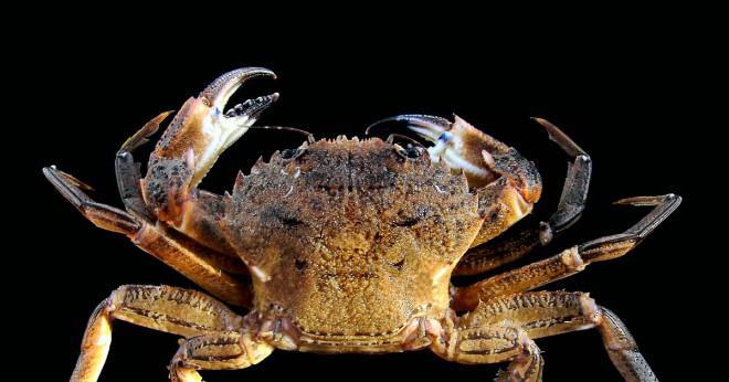 Är ärt krabbor ätliga?