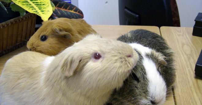 Göra hamster som selleri skär upp eller hela?