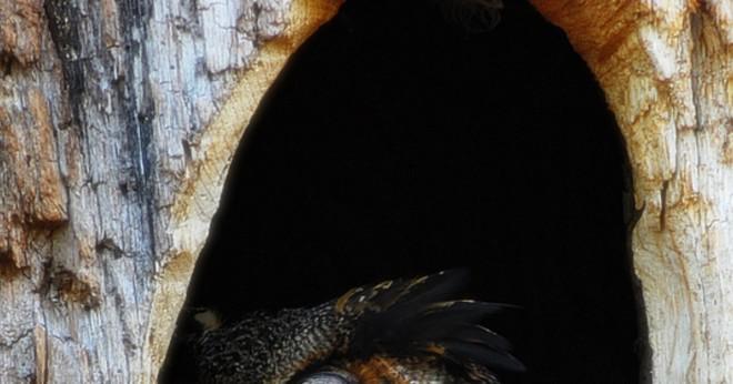 Vilken fågel har ögon i ansiktet som humanbeings?