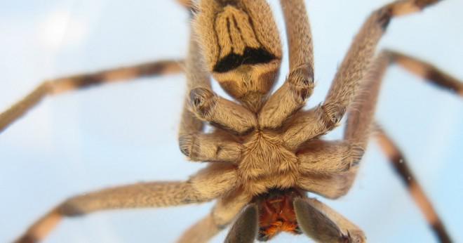 Finns det giftiga spindlar i Florida?