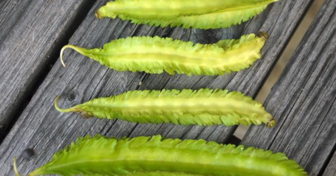 Är vita bönor hög i fiber?