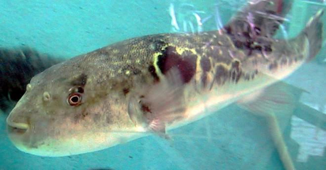 Är Blåsfiskar den giftigaste i världen?