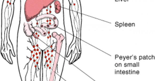 hur många lymfkörtlar har man i armhålan