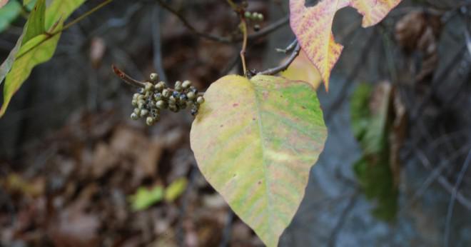 Hur kan du hitta någon som har gift sumak kiurushi vernix växer vilt som är villiga att sälja vissa växter?