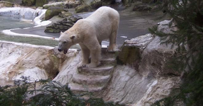 Hur hjälper kamouflage en isbjörn som blivit ett bättre rovdjur?