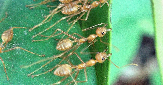 Vad är världens största myra koloni?