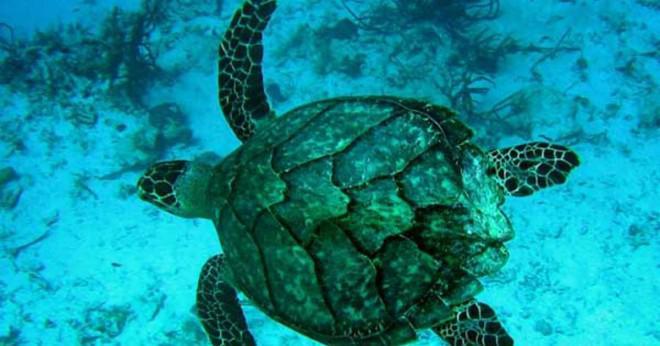 Varför är utrotningshotade havssköldpaddor?