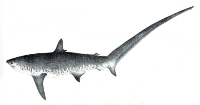 Vilka typer av fiender har thresher hajen?