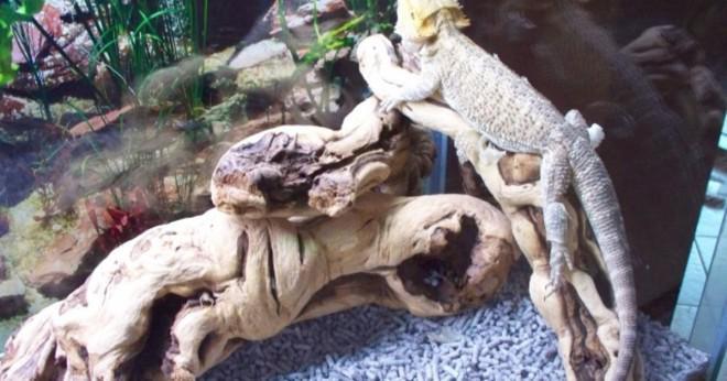Hur vet man om en skäggiga drake har brutit ryggen?