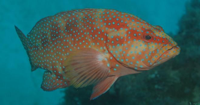 Vad ocean djur äter coral?