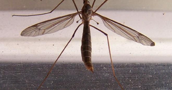 Varför vissa insekter lägger sina ägg i vatten?