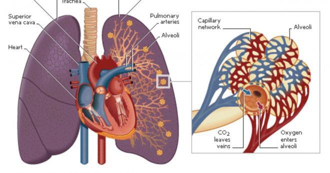 Vad är det respiratoriska systemet?