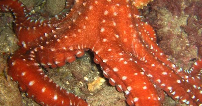 Vad gör blå-ringade bläckfisk se ut?
