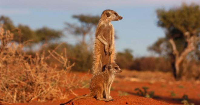 När är meerkat häckningssäsong?
