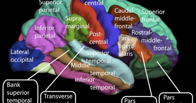Hur delar av hjärnan?