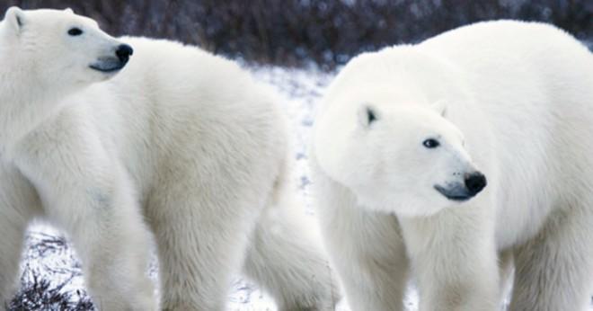 Vad är vissa däggdjur som lever i Alaska?