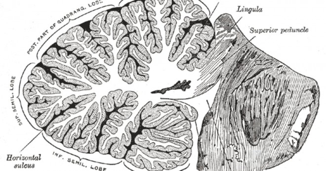 Vad ventriklar i hjärnan do?