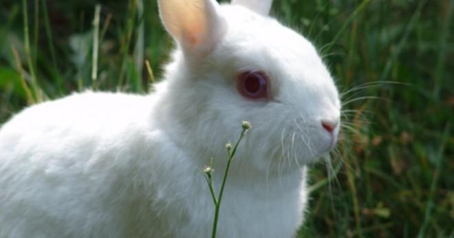 Kan kaniner äter oregano?