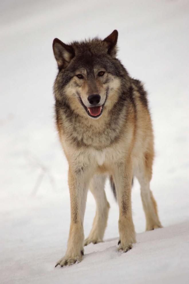 Skillnader mellan vargar och hundar
