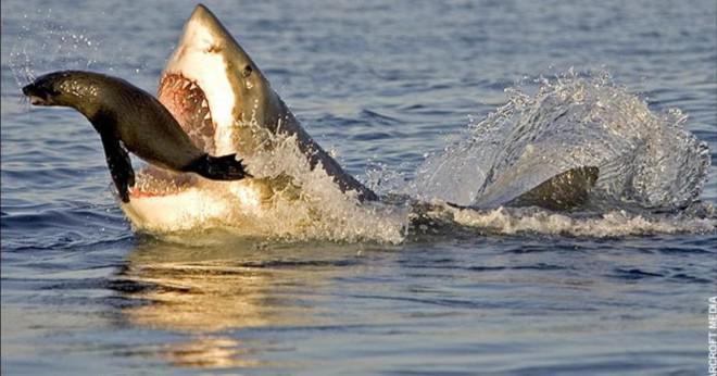 Vad äter Great White hajar?
