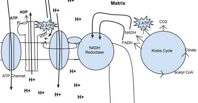 Är cellandning och aerob respiration samma sak?
