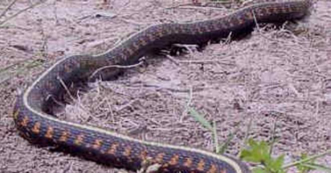vad äter ormar
