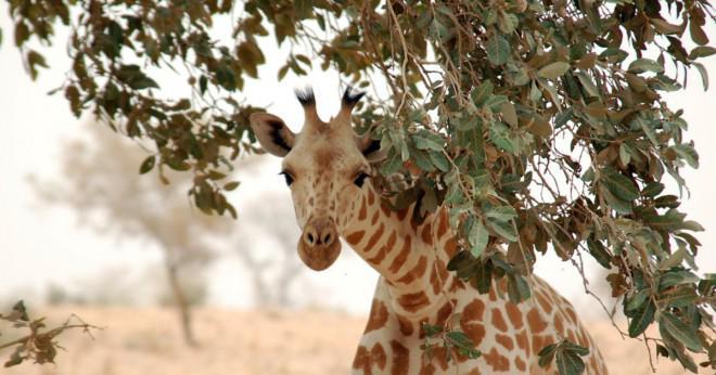 Vad man väger mer en häst eller en giraff?