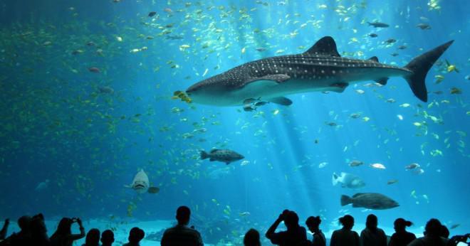 Vad äter valhajar brugd och Mega hajar?