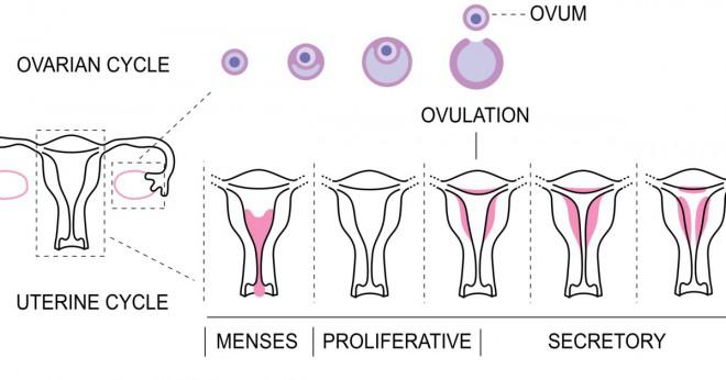 progesteron efter ägglossning