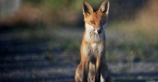 Vad säger räven?