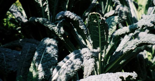 frysa färsk grönkål