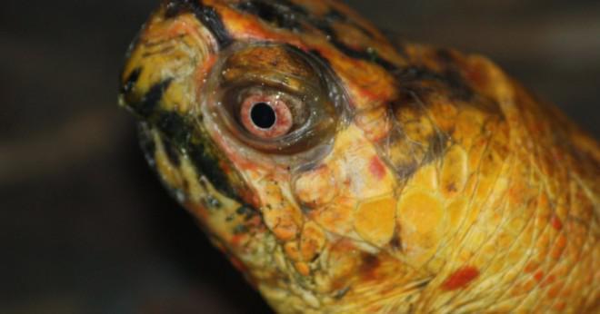 vad äter en sköldpadda
