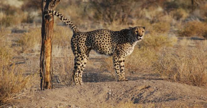Cheetah är det enda djur som har de flesta fläckarna?