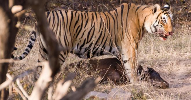 Vad är ordningen på de sju kontinenterna minst utrotningshotade djur och de mest utrotningshotade djur?