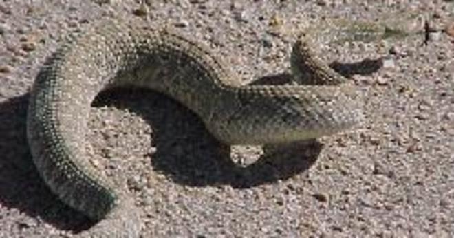 Som kontinenten har inga ormar eller reptiler?