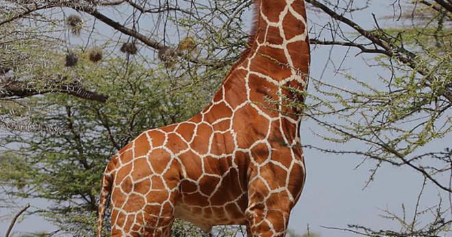 Hur mycket väger baby giraffer?