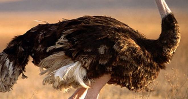 Vad är en 3 bokstäver ord för flygförmåga fågel?