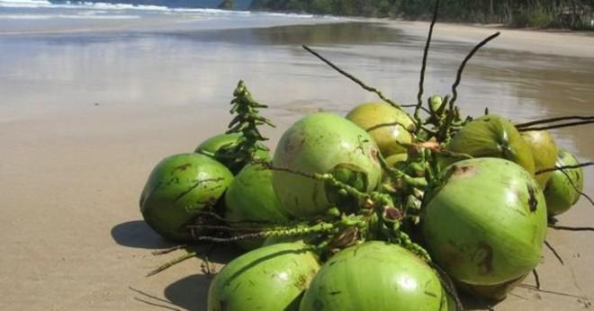 Vad är sjukdomarna påverkas kokos trädet?