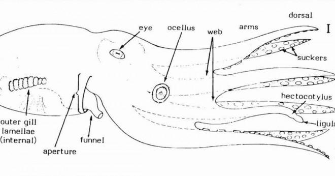 En blå ringmärkta bläckfisk kan döda en vithaj?