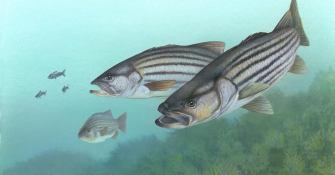 Vilken fisk reser till saltvatten att häcka?