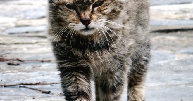 Är det okej att ta anti rabiesvaccin sköt även om katten inte har funnit för att ha rabies?