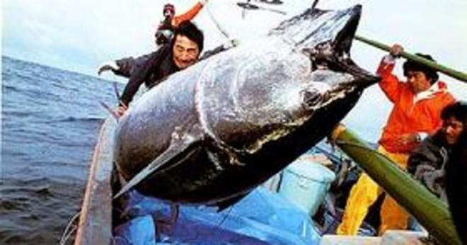 Hur stor kan en tonfisk bli