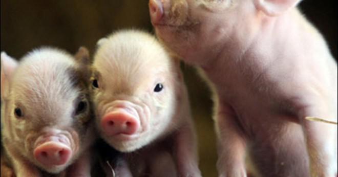 Vad är funktionen av mjälte i fostrets svin?