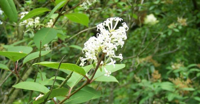 Vad är tid på året att transplantera lila buskar?